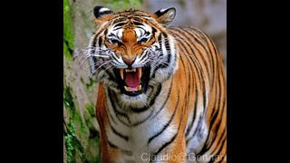 Tigers and men. Mortal war