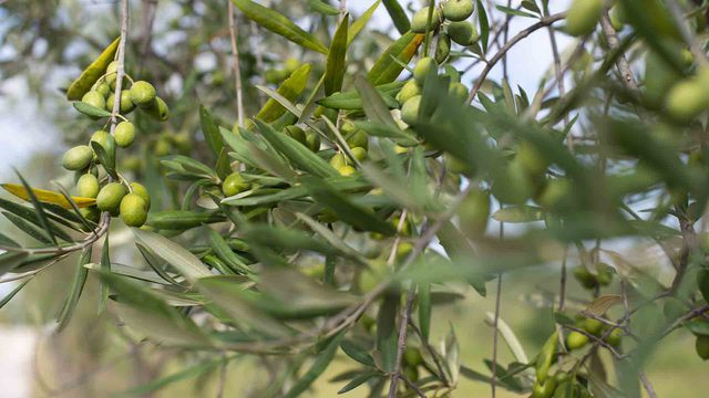 Aceite de oliva virgen extra, oro para la salud, el superalimento en casa